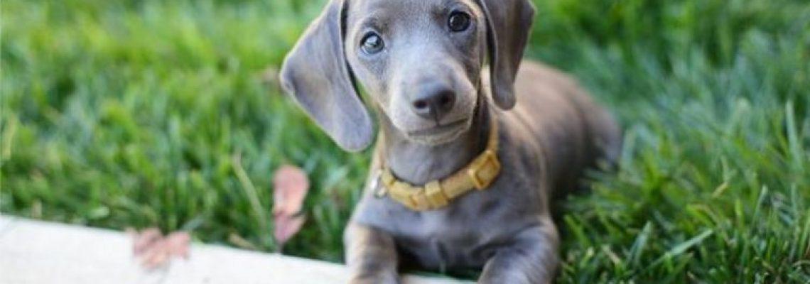 blue-dachshund